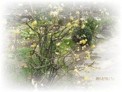 Mitsumata