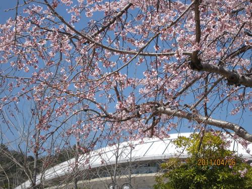 しだれ桜 2011-04-06