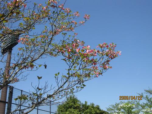 ハナミズキ 2009-04-22