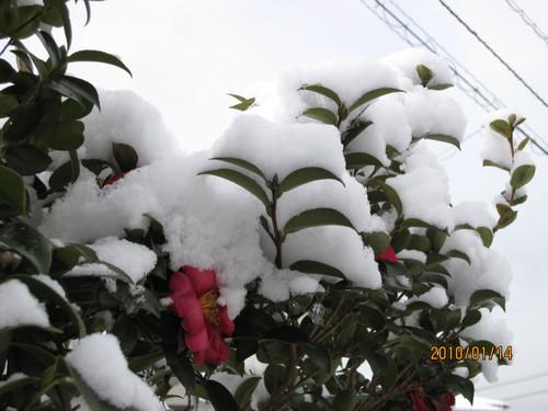 冠雪したサザンカ 2010-01-14
