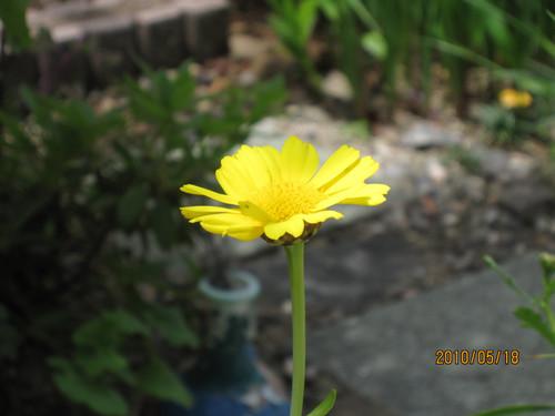 春菊の花 2010-05-18