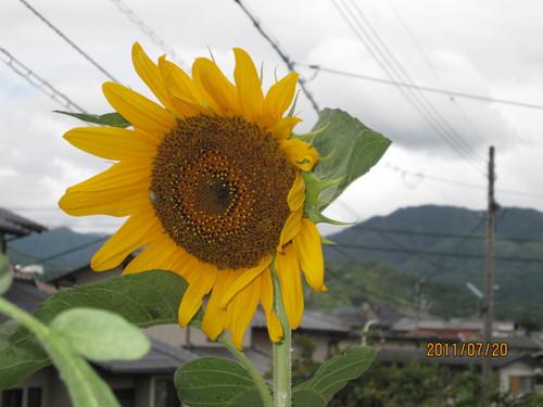 ひまわり 2011-07-20