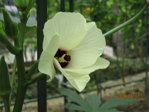 オクラの花 2009-08-17