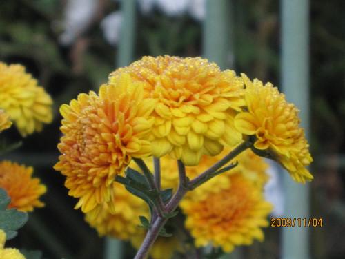 菊 2009-11-04