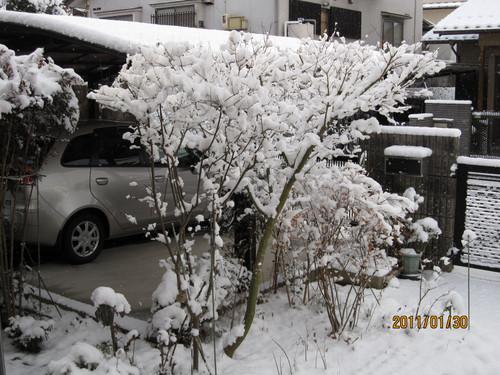 冠雪したモミジ 2011-01-30