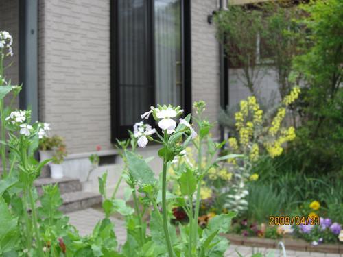 大根の花 2009-04-21