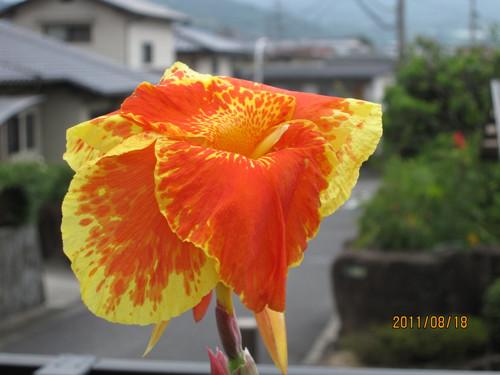 カンナ 2011-08-18