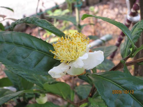 お茶の花 2009-10-13