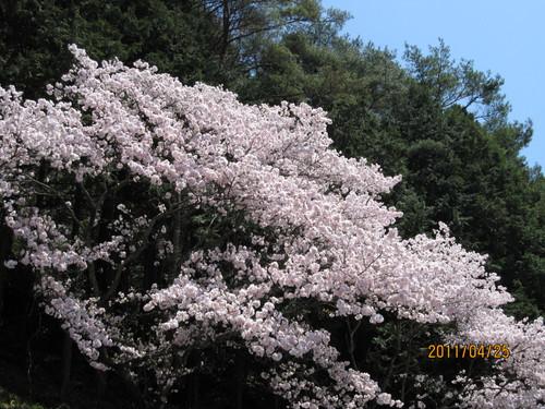 しあわせ観音の桜