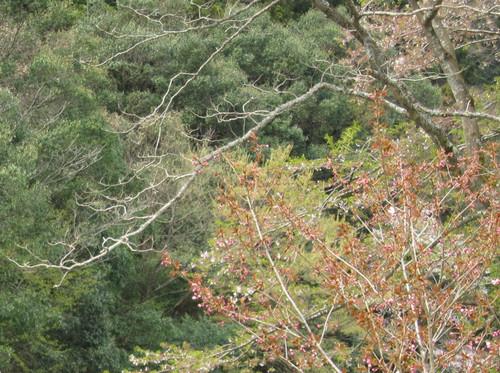 湯来ロッジ近くの桜